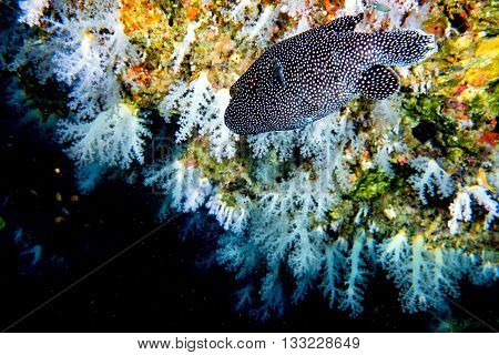 Puffer Fish Black White Spotted Close Up