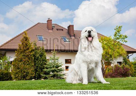 Big guard dog sitting in front of the house. Polish Tatra Sheepdog also known as Podhalan or Owczarek Podhalanski