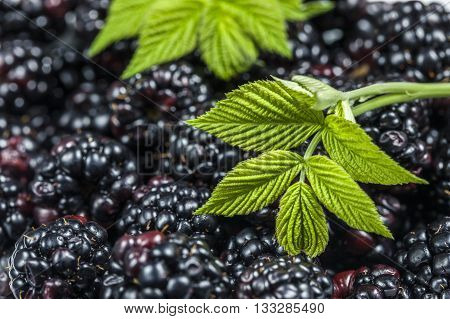 Blackberries and a leaf. A close up image of a bunch of blackberries with a blackberry leaf.
