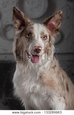 Border collie dog merle color in interior studio