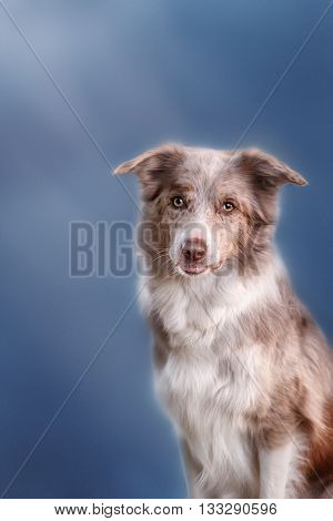 Border collie dog merle color in blue background