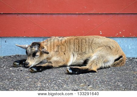 A young goat resting at the farm