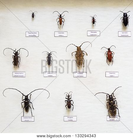 Passion for entomology: a variety of beetles with long antennae, dried in a special showcase