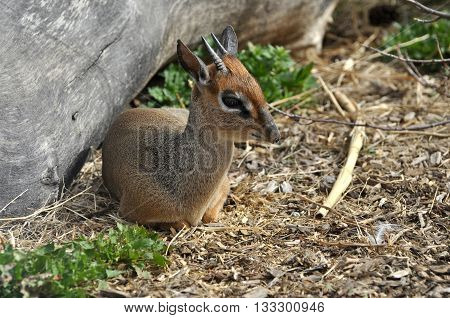 Kirk's Dik-Dik is a small African antelope laying hidden by a log