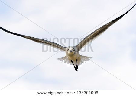 Seagull is a beautiful seagull spreading its wings and soaring against a vibrant blue sky.