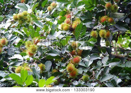 Rambutan treeGrowing of rambutan in orchard colorful fruit in nature tropical fruit Ripe rambutan in garden
