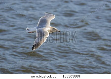 European Herring Gull (Larus argentatus) in flight above the sea