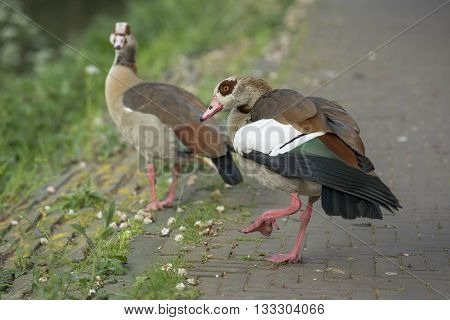 Two Egyptian Goose (Alopochen aegyptiacus) standing on the quayside at the Kortenaerkade in the Hague Den Haag the Netherlands