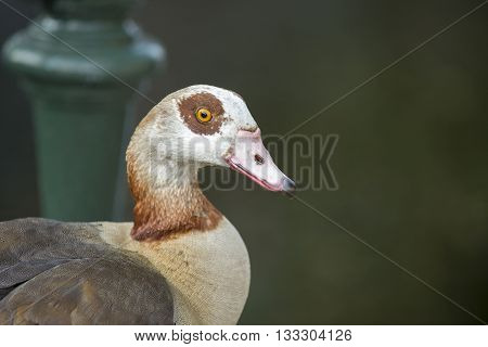 Portrait of an Egyptian Goose (Alopochen aegyptiacus) standing on a Bridge at the Kortenaerkade in the Hague Den Haag the Netherlands