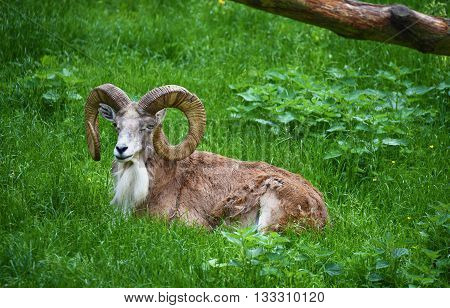 Mouflon musmon animal in green grass in spring time