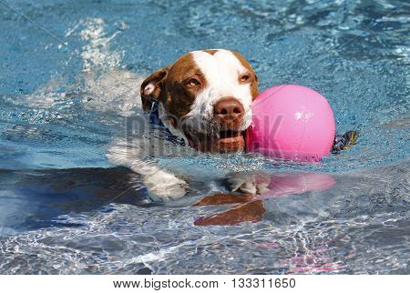 Pitbull swimming in the pool with a pink ball