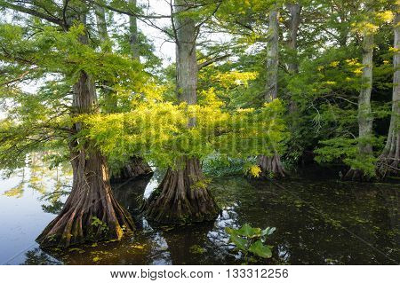 Sun lit leaves of Bald Cypress (Taxodium distichum) at Reelfoot Lake