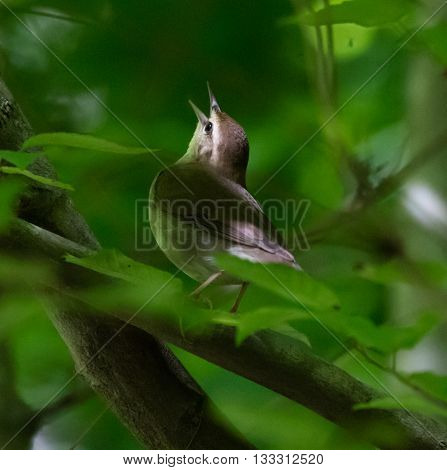 Swainson's Warbler (Limnothlypis swainsonii) singing from a branch