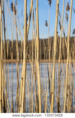 Wall of phragmites in marshy area along frozen pond