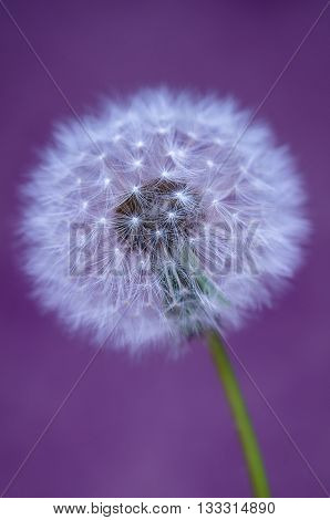 Beautiful close up abstract image of dandelion