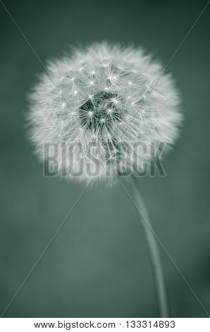 Beautiful close up green toned image of dandelion