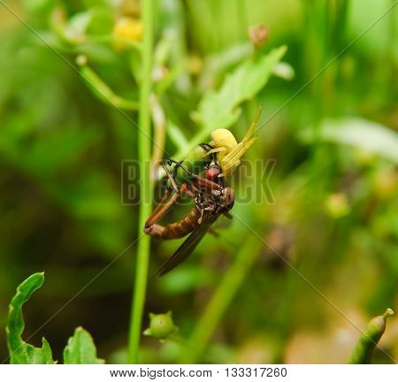 Goldenrod crab spider (Misumena vatia) attacked assassin flies (Asilidae)