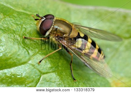 Syrphus vitripennis hoverfly. True fly in the family Syrphidae showing dark hind femur to differentiate from Syrphus ribesii poster