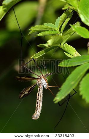 Tipula vittata crane fly showing legs. Cranefly in the family Tipulidae showing long ungainly legs