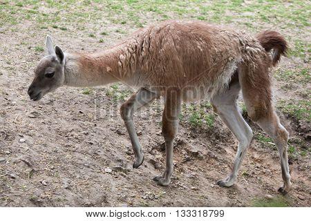 Guanaco (Lama guanicoe), also known as the Guanaco llama. Wildlife animal.