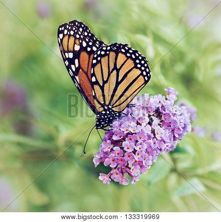 Monarch butterfly (Danaus plexippus) feeding on butterfly bush flowers. Vintage filter effects.