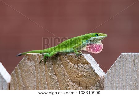 Green Anole lizard (Anolis carolinensis) showing off his bright pink dewlap on the top of fence
