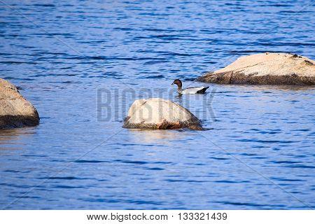 One Australian wood duck swimming near rocks in Lake Jindabyne's gentle water