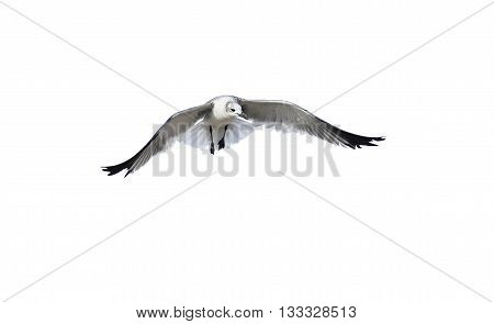 Bird isolated on white is a white bird captured spreading its wings like an ethereal angel.