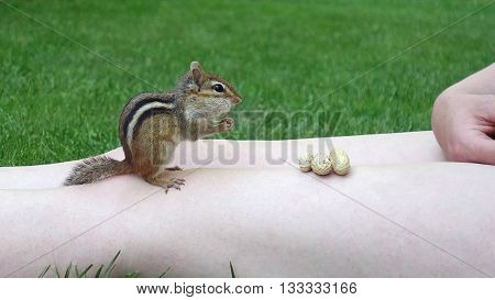 Friendly chipmunk climbs unto a persons bare legs to eat peanuts in a park, cute wild animals and people photography.