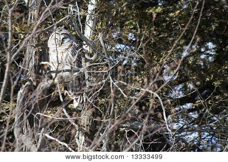 Barred Owl among tree branches, next to a rural road in eastern Ontario in early winter, facing east in the early afternoon poster