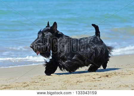 scottish terrier standing on the beach in France