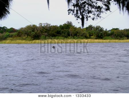 photo of a bird in flight over a lake in florida poster