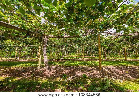 Kiwi fruit orchard Te Puke Area North Island New Zealand