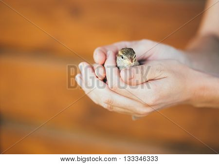 Young Bird Nestling House Sparrow - Passer Domesticus - Chick Baby Yellow-beaked In Female Hands On Brown Wooden Background