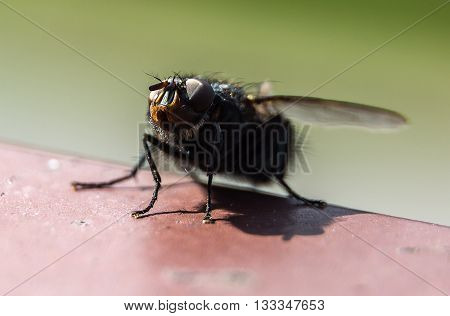 Single insect small home fly macro photography