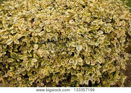 Euonymus fortunei. Yellow and green leaves of euonymus fortunei background. Colorful background of euonymus bush known as spindle tree. Wintercreeper Euonymus. Bush leaves and branches for background.