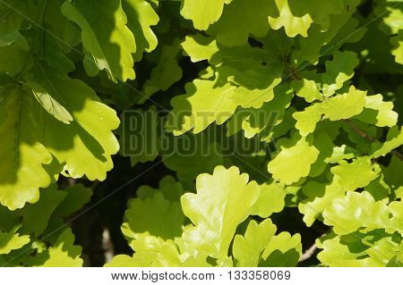 Oak (lat. Quércus) is a genus of trees and shrubs in the Beech family (Fagaceae), the leaves of oak, very original