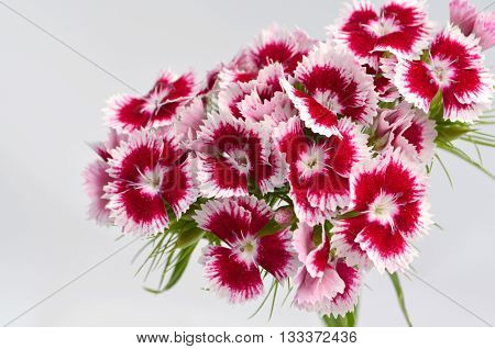 Turkish Clove on a white background, a bouquet of flowers