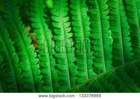 Fresh Young Green Fern Leaf Close Up