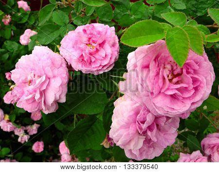 beautiful shrub roses growing outdoor photos photostock