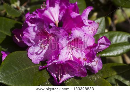 a rhododendron flower with waterdrops after the rain