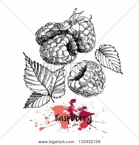 Vector illustration of raspberry. Isolated on white background. Engraving summer fresh vegetarian fresh fruit. Hand drawn engraving art. For cocktail smoothie desserts and salsds.