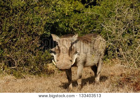 Whats Up - Phacochoerus Africanus  The Common Warthog
