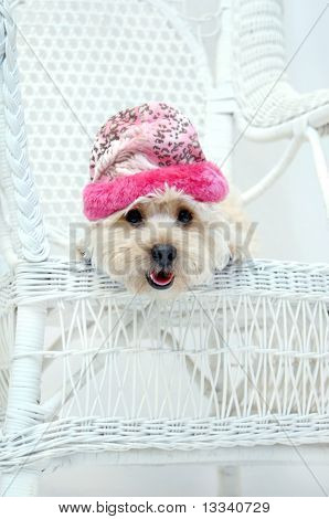 Adorable Silky poo sits on her favorite chair. Low angle shot of dog wearing a pink winter cap. Mouth is open panting. poster