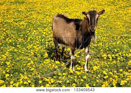 Goat at the field of yellow dandelions