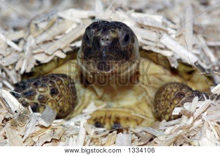 Russian Tortoise 09
