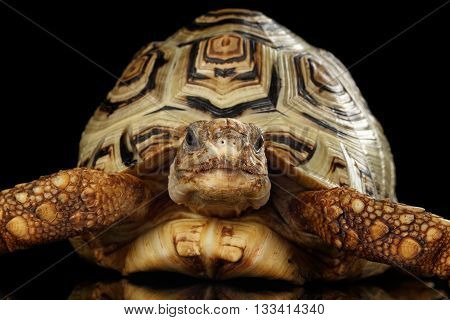 Leopard tortoise albino, Stigmochelys pardalis turtle with white shell on Isolated Black Background, Front view