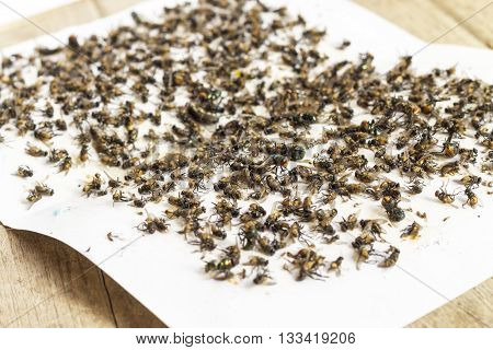 Flies caught on sticky fly white paper trap on wooden floor