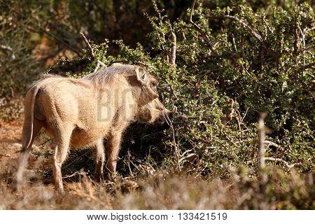 Freez - Phacochoerus Africanus  The Common Warthog