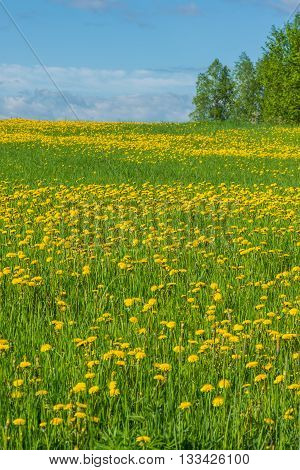 Beautiful countryside field landscape full of dandelions